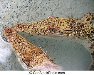 Peaceful couple of baby crocos.