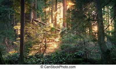 Peaceful Forest Lit Up In Afternoon Sun - Woodland scene...