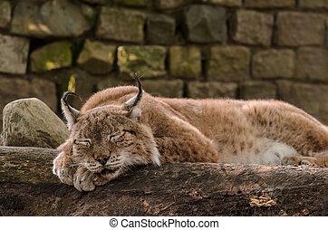 Peaceful sleeping Lynx