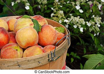Peach Basket - Peaches in bushel basket.