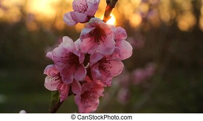 peach blossom in the evening - peach blossom with sunshine ...