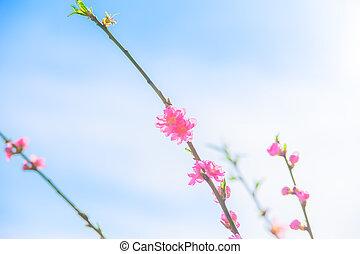 Peach Blossoms, blue sky, clouds