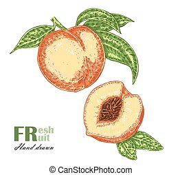 Peach branch isolated on white background. Fruit vector illustration sketch