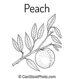 Peach branch Prunus persica , edible juicy fruit. Hand drawn...