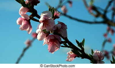 Peach colorful blossom in front of blue sky
