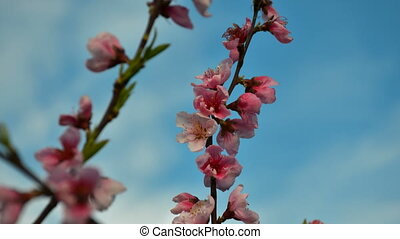 Peach colorful pink blossom high-definition footage in Full HD resolution
