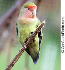 Peach Faced Lovebird sitting on a branch