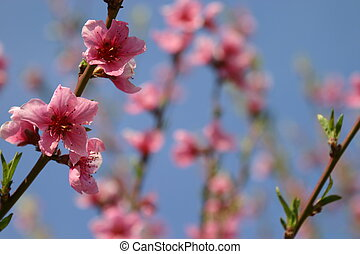 branches of a peach tree in bloom