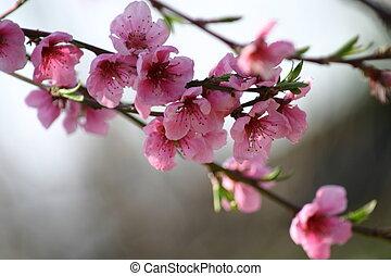 peach flower1 - branch of peach flowers