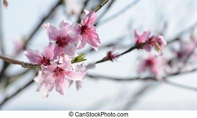 Peach flowers - Close up bright pink peach flowers under sky