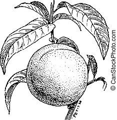 Peach fruit or Prunus persica, vintage engraving. - Peach...