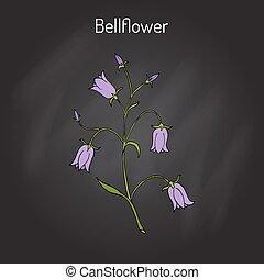 Peach-leaved bellflower Campanula persicifolia , flowering...