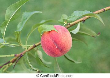 Peach on a branch