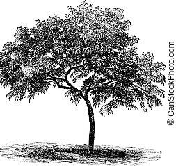 Peach or Prunus persica, vintage engraving - Peach or Prunus...