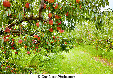 Closeup of a peach tree brunch with ripe fruit at an orchard in Central Kentucky