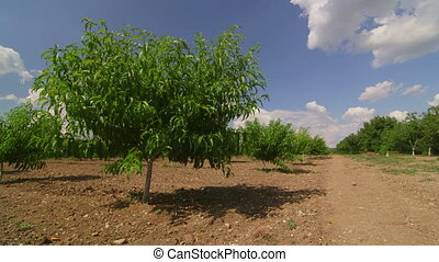 Rows of fruit trees in peach orchard pan shot
