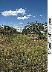 Peach Orchard, South Carolina