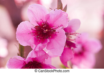 Peach Orchards in Spring Bloom - Close up of peach blossoms...