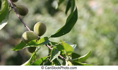 Peach tree branch with green fruits