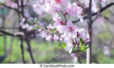 Bee on a flower of the blossoms. A Honey Bee collecting pollen. from the peach tree