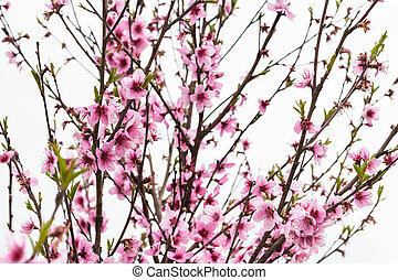 peach tree with pink blossoms in spring