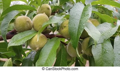 Peaches are ripening on a branch - young green peaches are...