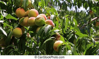 Peaches grow on a tree - young green peaches are ripening on...