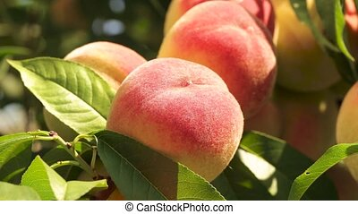Peaches on a branch close-up - a lot of ripe peaches on a...