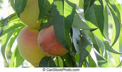 Peaches on the tree - Ripening peaches on the tree.