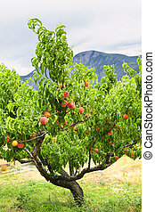 Peach tree with ripe fruit in Okanagan valley, British Columbia Canada