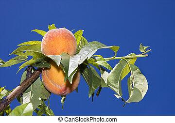 Peaches on tree - Peaches (Prunus persica nectarin) before...