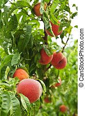 Peaches on tree - Ripe peaches ready to pick on tree...