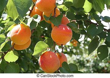 Peaches - Peach Tree