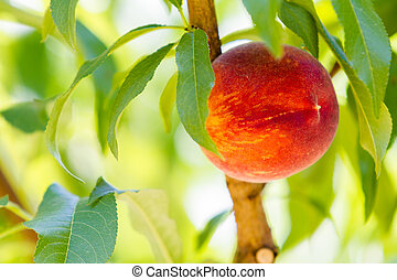 Peaches - Ripe peaches on the tree.