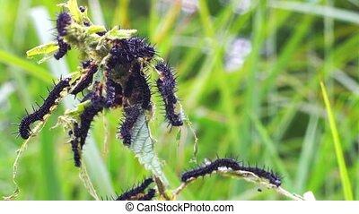 Peacock Butterfly Caterpillars Feeding on Stinging Nettle -...