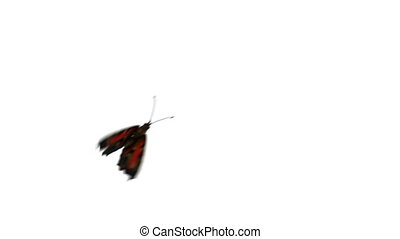 Peacock Butterfly Flies on a Green Background. Two Beautiful...