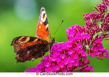 Peacock Butterfly - Inachis io, beautiful colored brushfoot butterfly from European meadows and gardens, Zlin, Czech Republic.