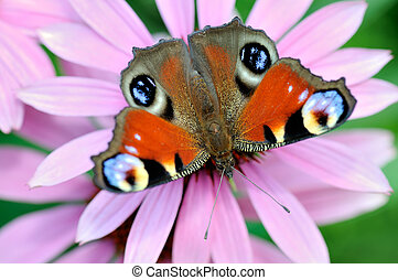 Peacock Butterfly (Inachis io) on violet flowers.