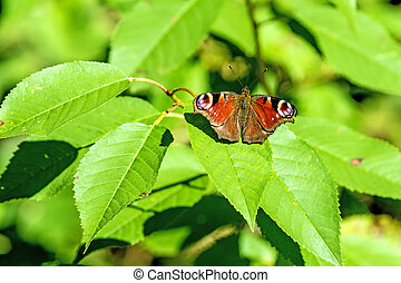 peacock butterfly on a bush