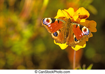 peacock butterfly on a Tagetes flower