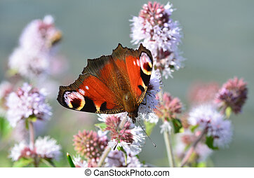 peacock butterfly on flowers in close up