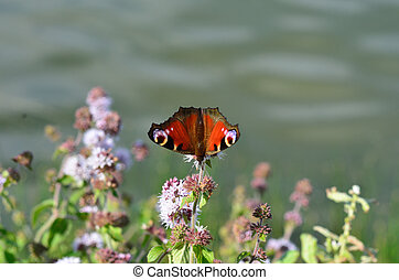 Peacock Butterfly on plant