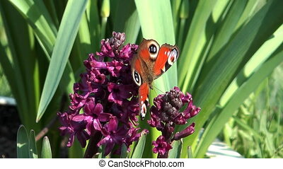 Peacock Butterfly on a flower hyacinth.