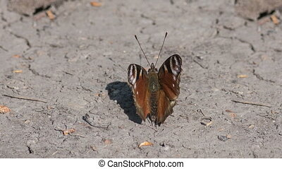 Peacock butterfly sitting on the dry ground