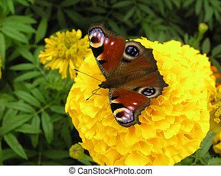 Peacock butterfly - European peacock caterpillar (Inachis...