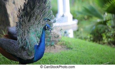 Peacock closeup shot - Peacock at sunny day closeup shot