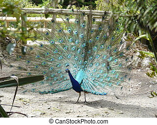 Peacock displaying tail feathers - Peacock displaying his ...
