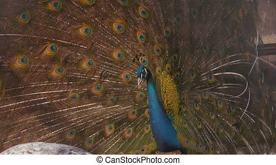 Peacock displays plumage. - Peacock attempts to lure a mate....