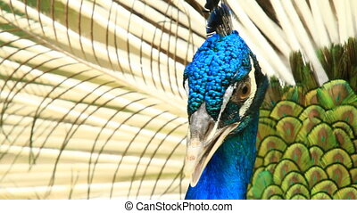 Peacock Extreme Close-Up Shot
