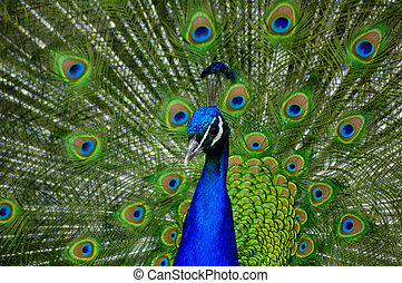 A peacock displaying
